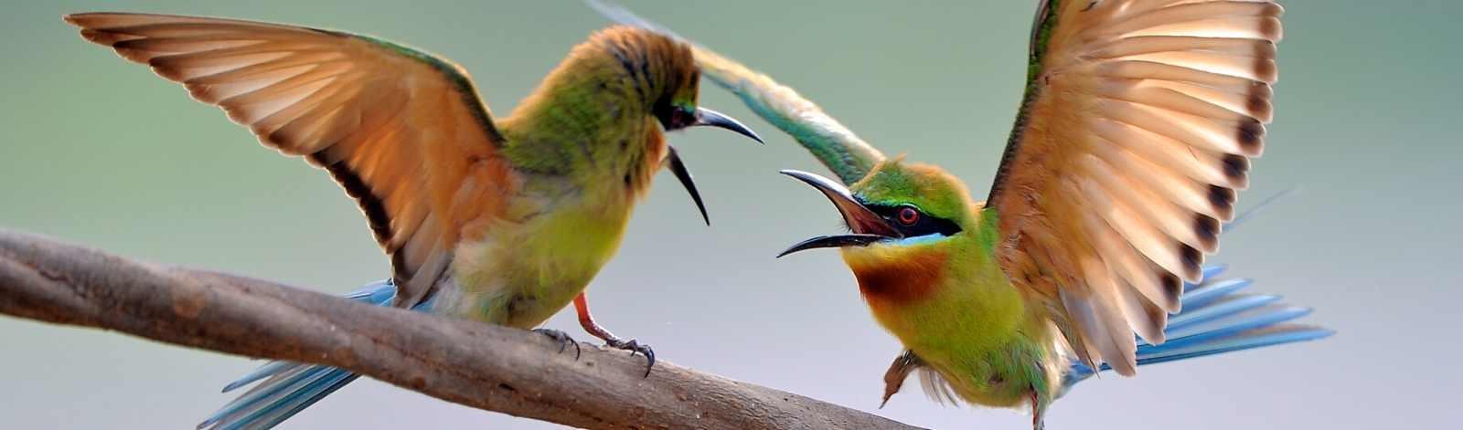 birdiefightpan_110837030