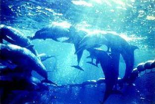 dolphins_in_purse_seine